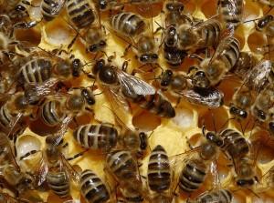 Матки пчел
