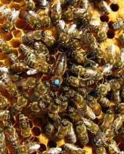 Мечение пчелиных маток