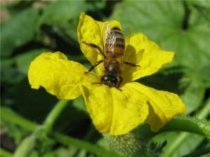 Пчела на огурце