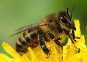Пчела на садовом цветке