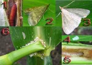 Повреждения листьев и стеблей грызущими насекомыми