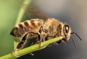 О пользе пчел-трутней