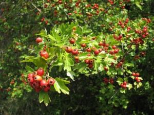 Плоды боярышника на ветках