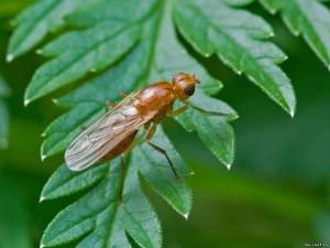 Морковная муха поражает огород