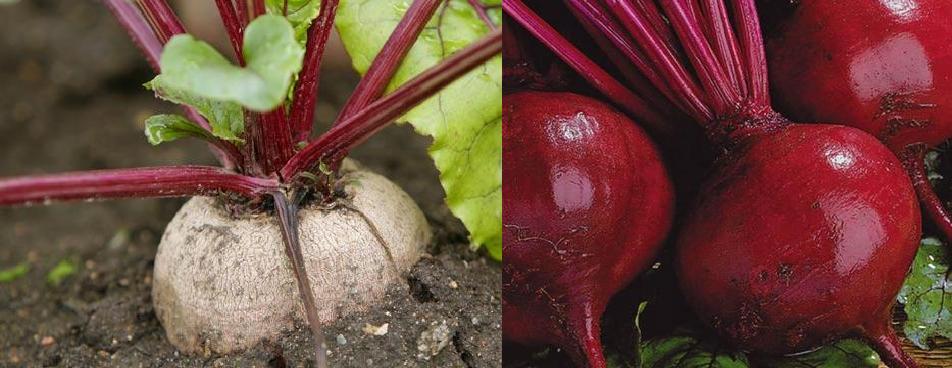 выращивание свеклы полив