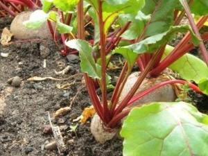 Садовые грядки с урожаем