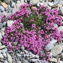 Одна из разновидностей цветка