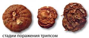 Процесс поражения луковиц