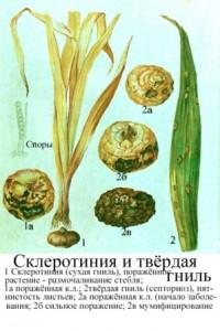 Заболевание гладиолусов