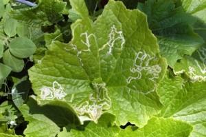 Пораженное минерами растение