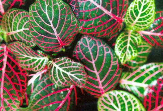 листья Фиттонии Вершафельта