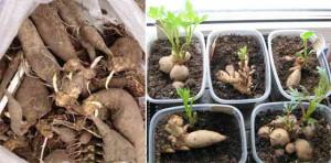 Посадка георгина с проращиванием
