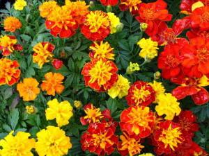Цветение бархатцев