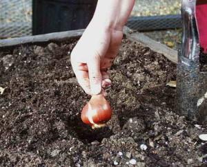 Высадка луковиц в открытый грунт