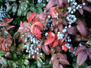 Красивая листва магонии
