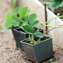 Дочерние розетки получают питание от материнского растения