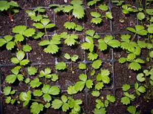 Размножаем клубнику семенами