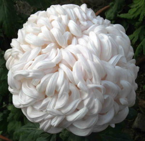 Chrysanthemum-Snowball