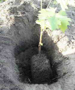 Высадка виноградного куста в открытый грунт