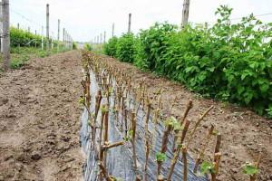 Высаженные чубуки в почву