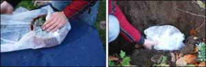 Выращивание гиацинтов в прикопе