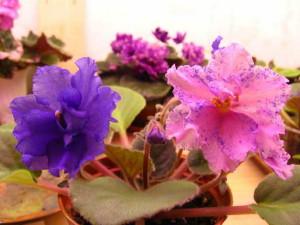 Сенполии в цветочных горшках
