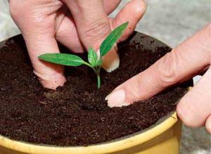 Работы с рассадой