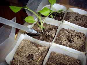 Пикировка однолетних растений