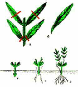 Черенкование для омоложения растения