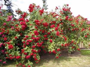 Цветение в розарии