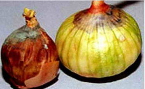 Поврежденные луковицы