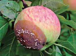 Гниение плода