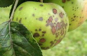 Пораженное яблоко