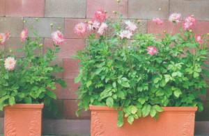 Цветы в горшках на даче