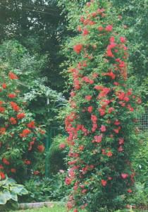 Плетистая роза в цвету