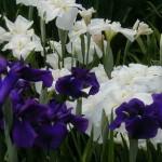 Ирисы на садовой клумбе