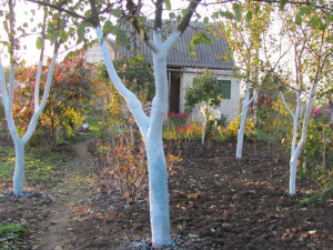 Побеленные деревья в саду