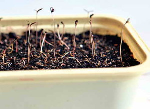 Гибель ростков