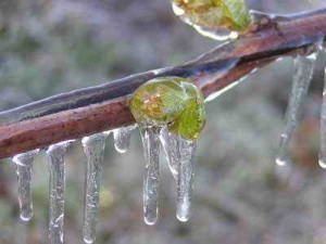Виноград во время заморозков