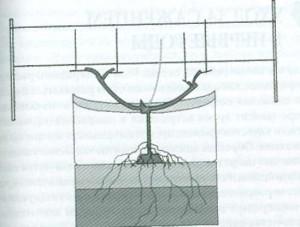 Веерная формировка