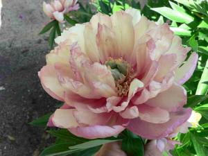 Цветение Джулия Роуз