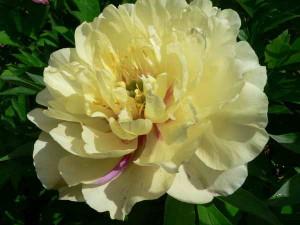 Цветок сорта Лемон дрим