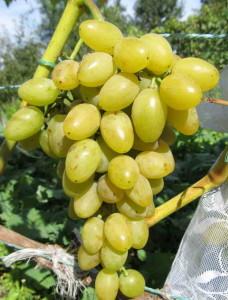 Виноград сорта Мускат летний