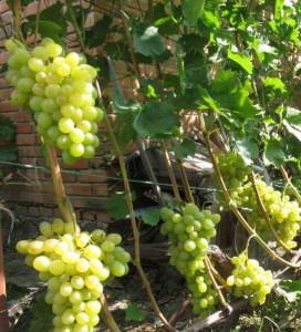 Виноград сорта новый подарок Запорожью