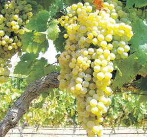 Садовый виноград