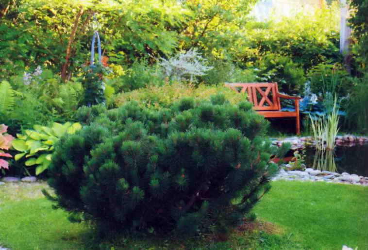 Горная сосна на садовой лужайке