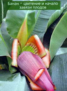 Завязывание плодов бананов