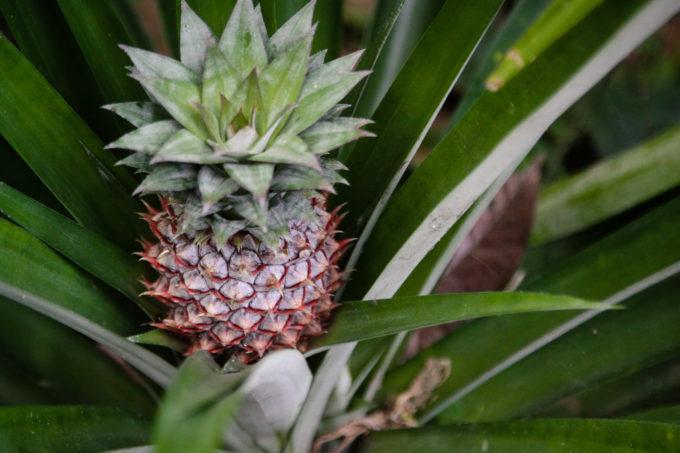 Растущий ананас в зелени своих побегов