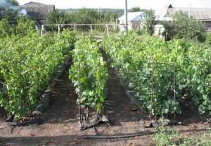 Молодые кусты винограда в школке