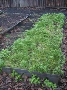 Сидераты на садовых грядках